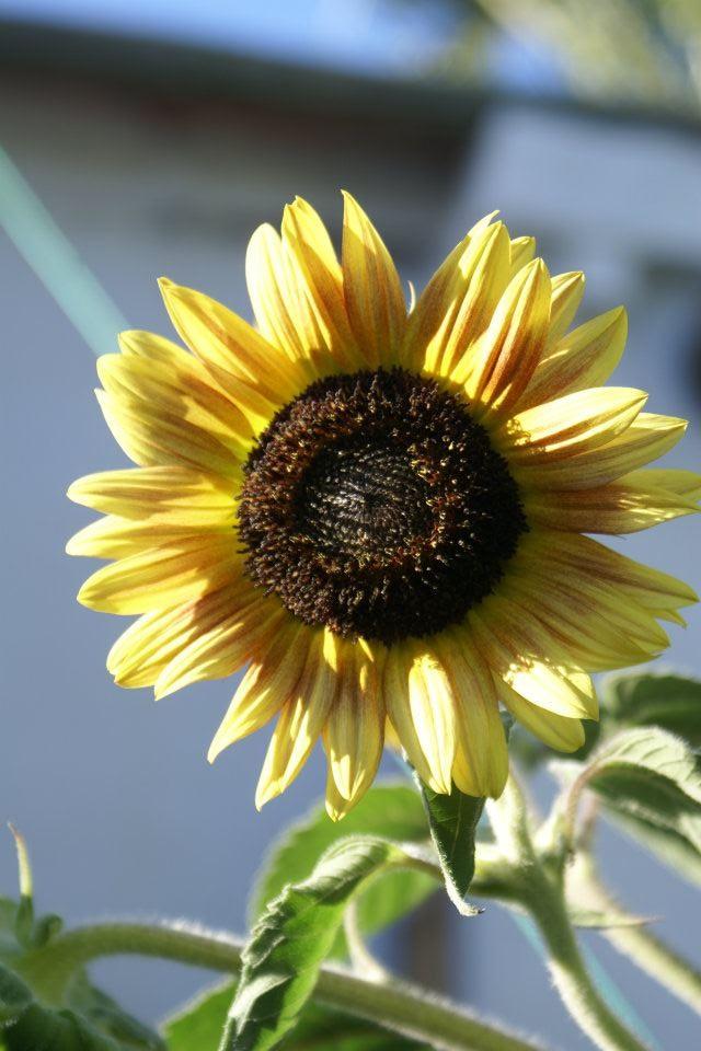 imagens de jardim horta e pomar : imagens de jardim horta e pomar: orgânico que uso para tratar os legumes e flores de pragas